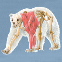 Polar Bear Anatomical Composite
